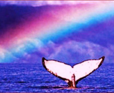 Maui whale with a rainbow