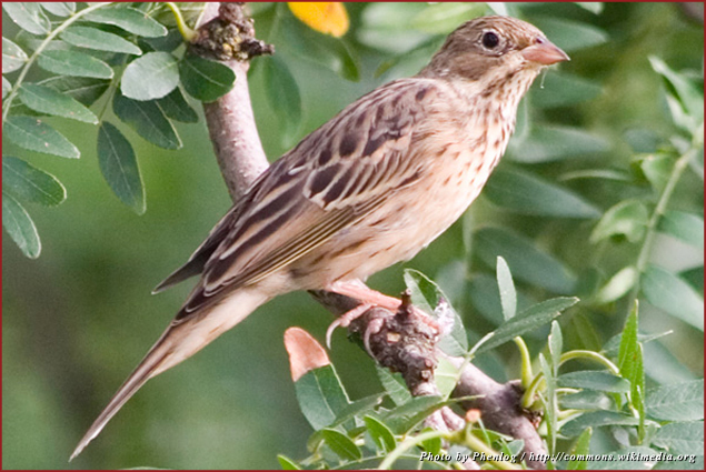 While it is illegal to sell a bird called the ortolan in France, it's not illegal to eat them