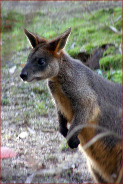 A swamp wallaby—One of the many varieties of Australian wildlife that make Tidbinbilla their home