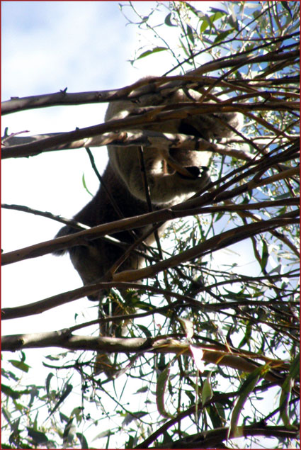 A rare and lucky treat, a koala feeds high in the eucalypt forest