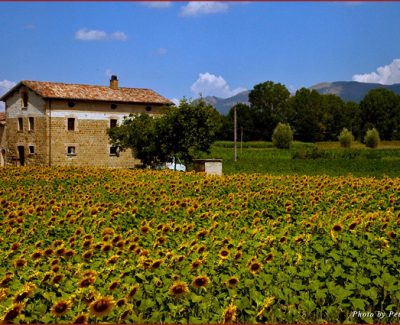 Sunflower field neat Gubbio, Umbria
