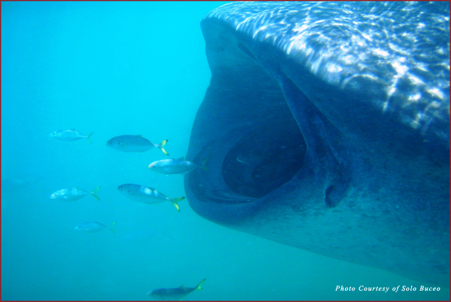 A big-mouthed whale shark