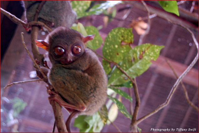 The Philippine Tarsier