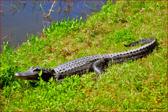 Alligator on the Creole Nature Trail