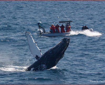 The amazing humpback whale