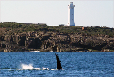 An active humpback whale splashes his fin near the Fingal Bay lighthouse outside Port Stephens. An astounding 10,000 humpback and southern right whales migrate past the port every year, with opportunities to spot them from cruises or many local lookouts and beaches