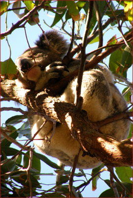 A koala sleeps in a tree canopy near One Mile Beach. Several healthy colonies make Port Stephens their home, offering a good opportunity to spot them in the wild