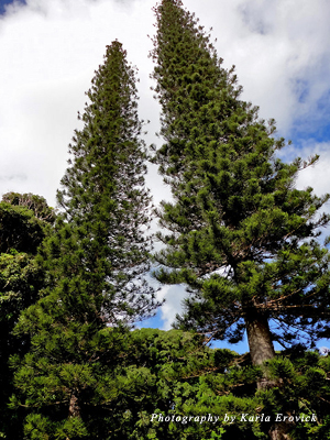 Cook Island pines at the estate
