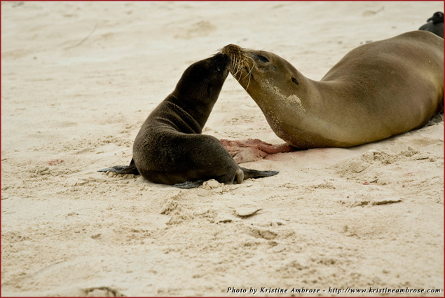 Mother and Sea Lion pup with placenta on San Cristobal Island