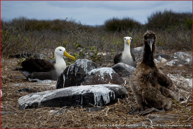 Albatross Family Portrait on Espanola Island in the Galapagos