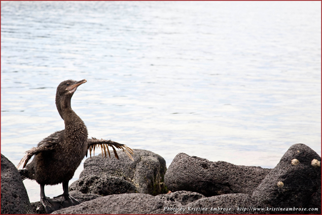 The flightless cormorant evolved into a non-flying bird and now dives deep into the sea for its food; the strength of its wings are slowly fading away as it evolves
