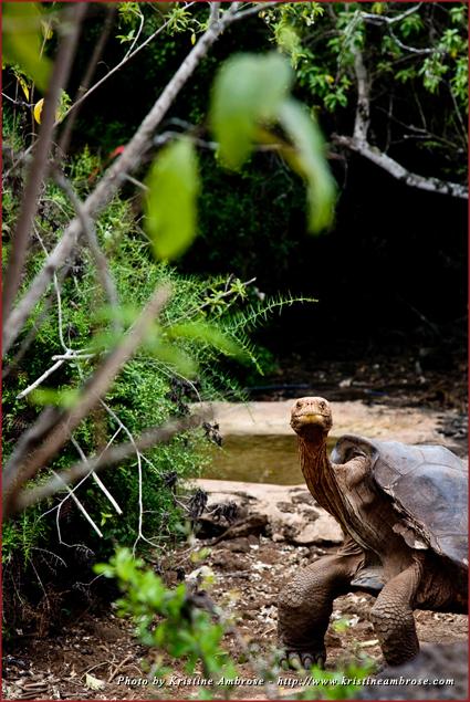Galapagos tortoise on Santa Cruz Island posing