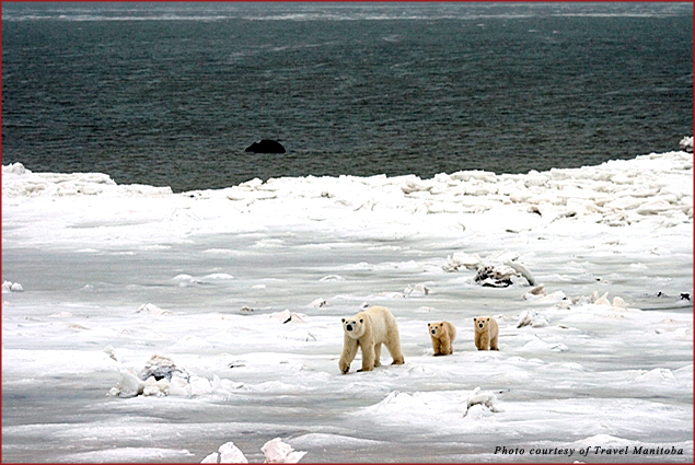 A polar bear and two cubs make their way across the ice