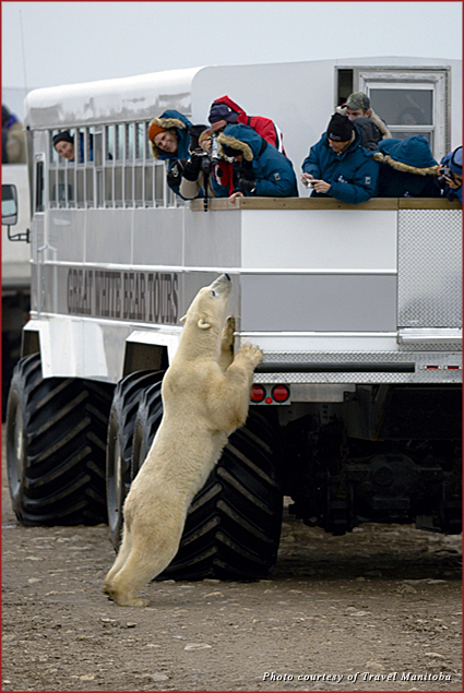 A polar bear stretches up to greet visitors in Manitoba, Canada