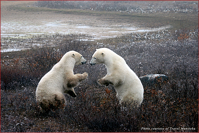Two polar bears face off in Manitoba, Canada