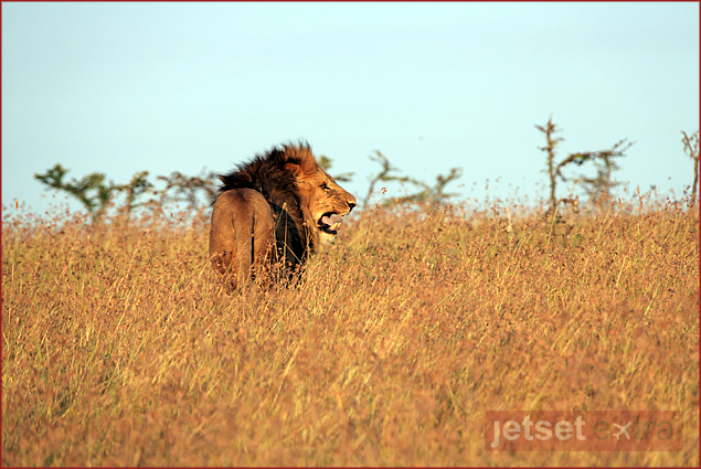 Male lion following his pride on Borana Ranch