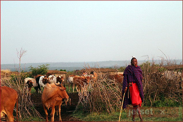 Visiting a Masai Village / Masai Man with his cattle