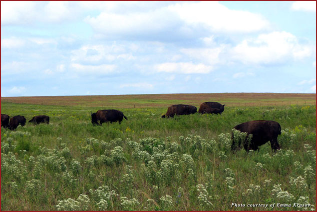 Bison in Oklahoma