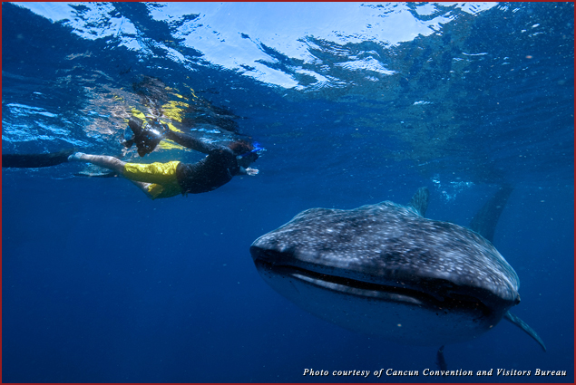 A swimmer next to a whale shark off the coast of Isla Mujeres, Mexico