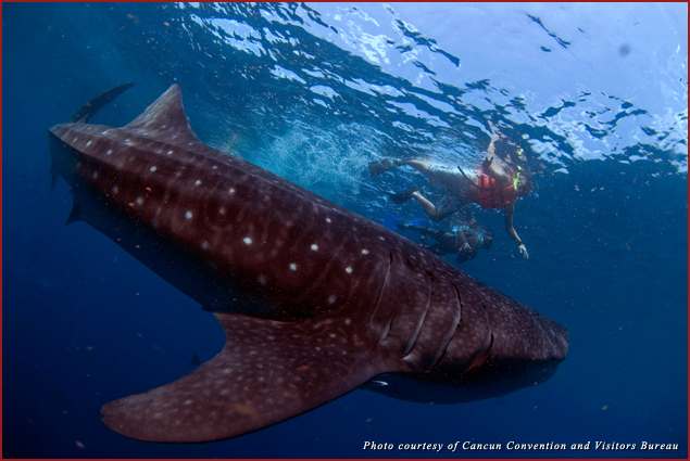 Tourists swim alongside a whale shark, which can grow up to 60 feet in length, off the coast of Isla Mujeres, Mexico