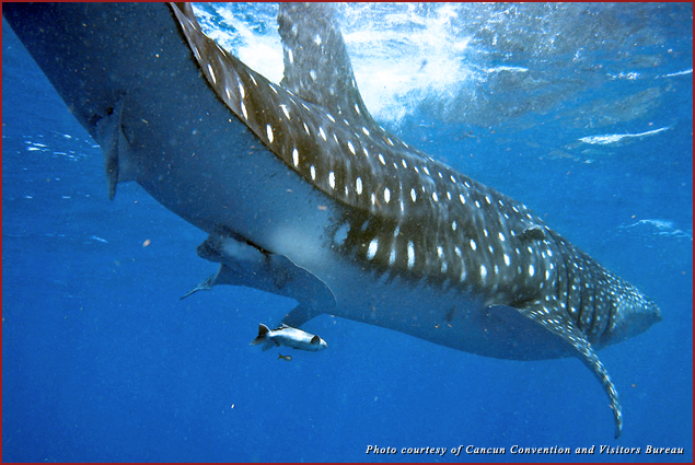 The whale shark is the largest fish in the ocean and prefers waters of warm surface temperature such as Isla Mujeres
