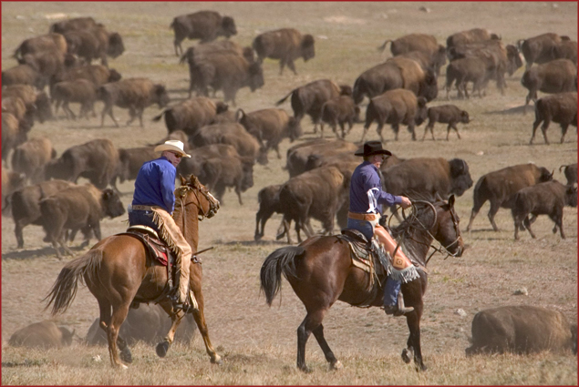 The Buffalo round-up at Custer State Park is a well-attended event