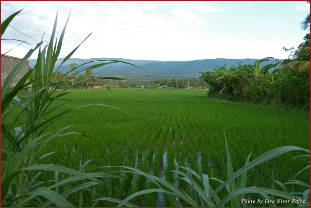 Rice fields in Lovina