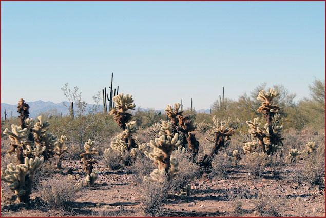 Jumping Cholla plants, Sonoran Desert