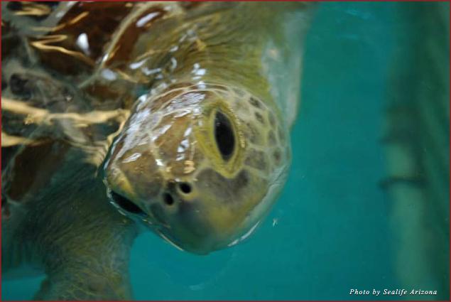 Ziva, a rescue turtle that calls SeaLife Arizona its home