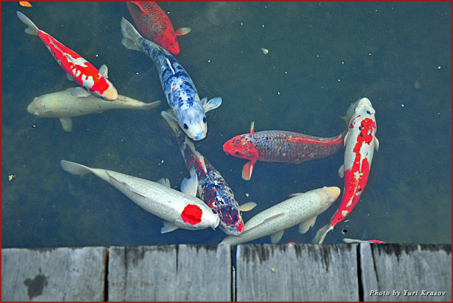 Koi fish in a pond at Hakone Gardens
