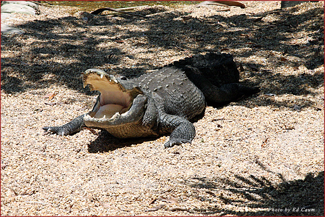 Alligators are relaxed around less-visited Lake Tafford. A male bellows for a mate