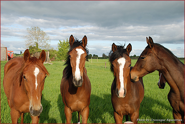 Young Irish thoroughbreds bred and raised at Crossogue