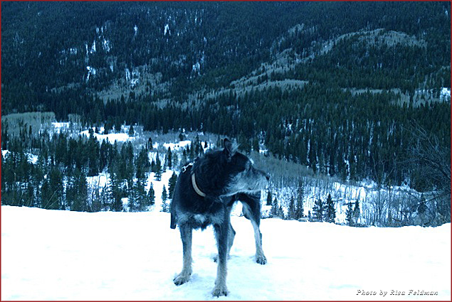 My dog Ike on the Independence Pass hike