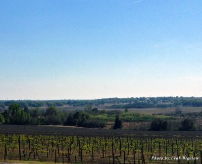 The vineyards at Lakeridge Winery in Clermont, Florida