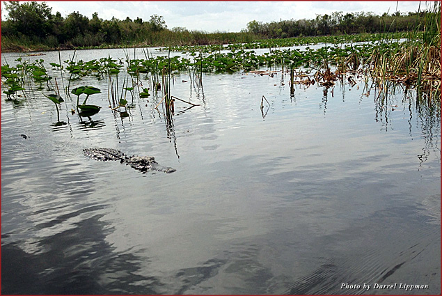 An alligator swims in the Everglades