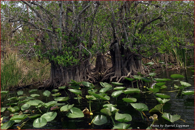 The Everglades are home to pineapple mangroves
