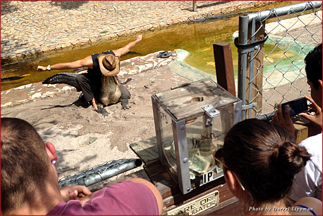 Everglade Holiday Park guests are treated to an alligator show