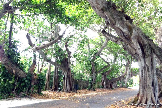 Banyan Tree Lane in Boca Grande