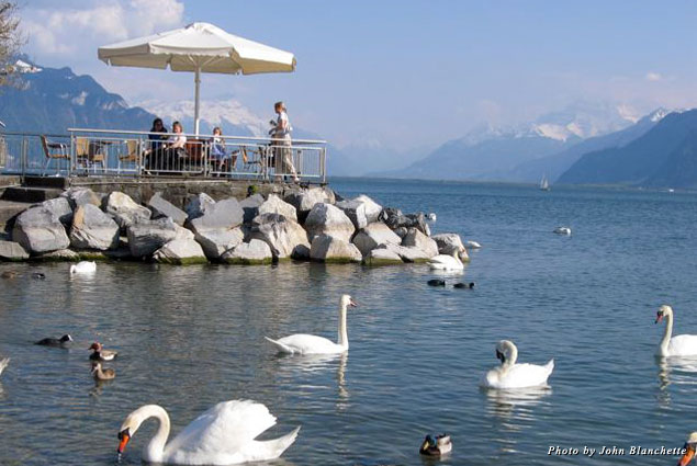 Swans swim in the lake in Lucerne