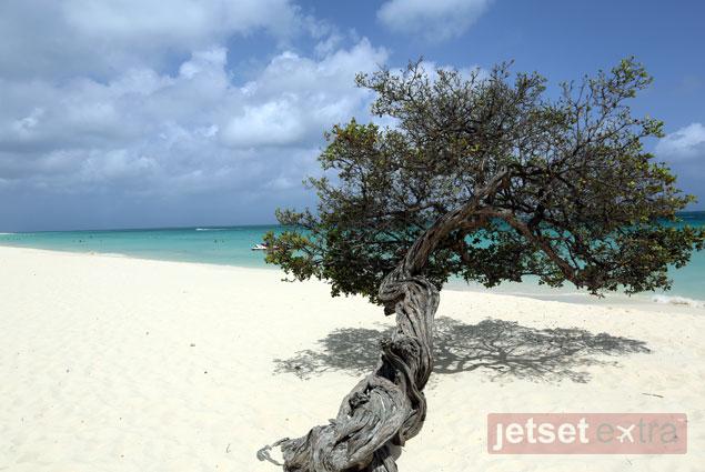 A fofoti tree in Aruba