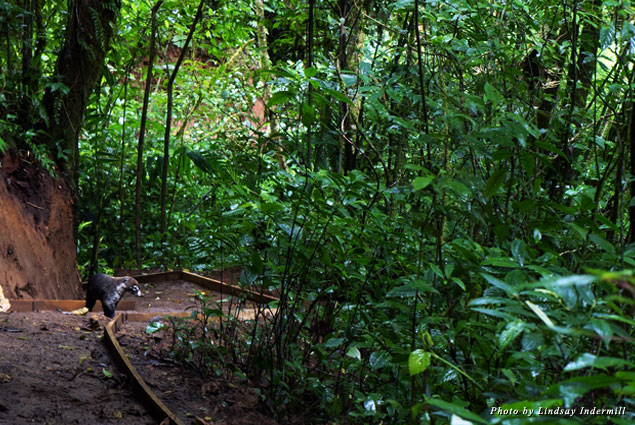 A coati, Costa Rica's version of the raccoon, crosses a forest trail