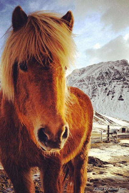 One of the many beautiful Icelandic horses you'll encounter