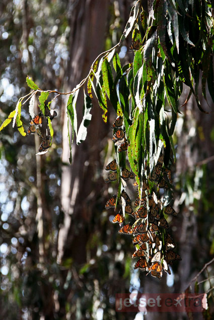 Monarch butterflies blend into the leaves at the Goleta Butterfly Grove