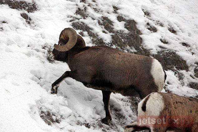 Bighorn sheep grazing and climbing the mountainside in Jasper