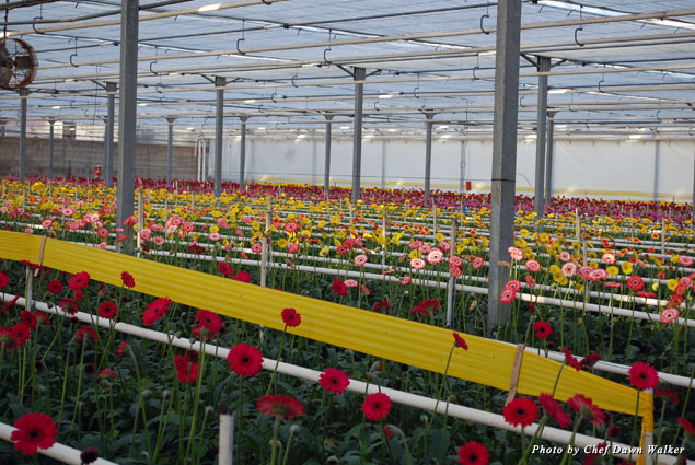 Inside a Carpinteria gerbera daisy greenhouse