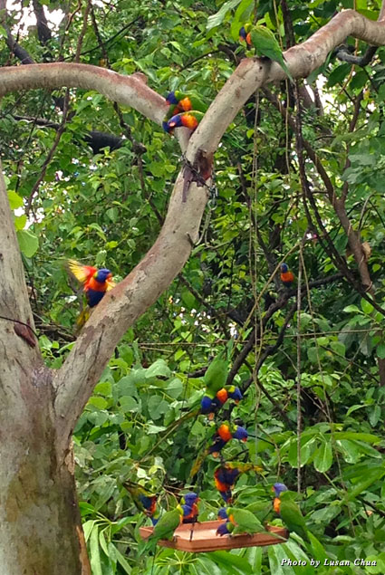 Rainbow Lorikeets flitter amongst the trees outside the dining room