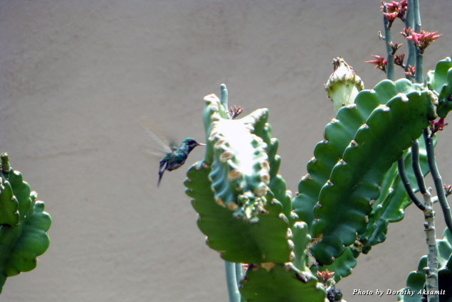 A hummingbird, one of the forms taken by Huitzilopochtli, pays a visit to the museum