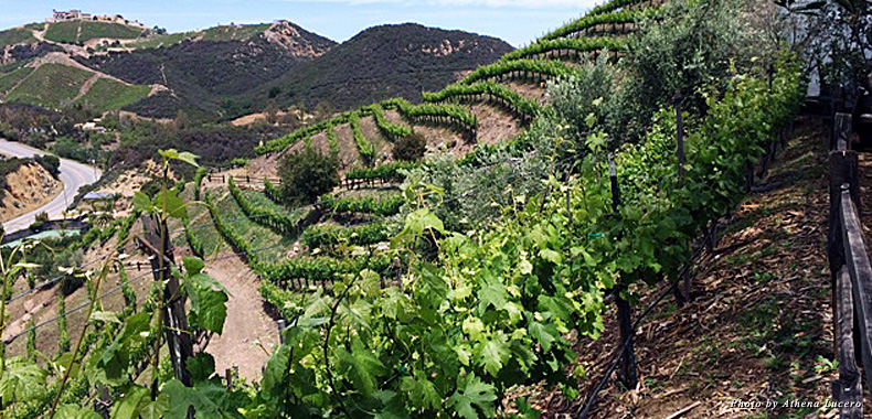 Acres of vineyards cascade down the slopes of the Santa Monica Mountains