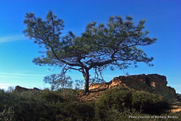 A rare and beautiful Torrey pine graces the Beach Trail in Torrey Pines State Natural Reserve