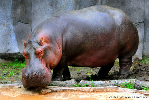 A hippo in an outdoor exhibit at the Milwaukee County Zoo
